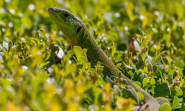 Balkan Green Lizard Lacerta trilineata. In Corfu Ionian Islands Greece Europe Stock Photos