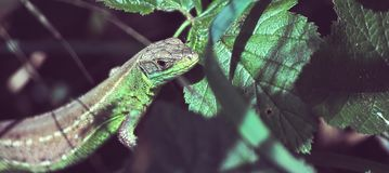 Balkan Green Lizard. Green Lizard, one of the two most common Balkan lizards, sunbathing whilst camouflaged in the green leaves royalty free stock photo