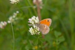 Balkan Heath in biotope Royalty Free Stock Photo