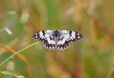 Balkan Marbled White. Butterfly,Kalloni salt pans,Lesvos royalty free stock images