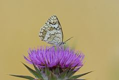 Balkan Marbled White. Butterfly,Kalloni salt pans,Lesvos royalty free stock photos