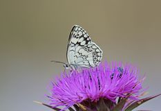 Balkan Marbled White. Butterfly,Kalloni salt pans,Lesvos royalty free stock photo