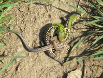 Balkan wall lizard - copulation Stock Photo