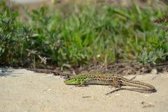 Balkan Wall Lizard Stock Image