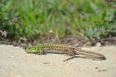 Balkan Wall Lizard Stock Photos