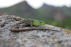 Balkan Wall Lizard (Podarcis tauricus) Royalty Free Stock Image