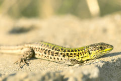 Balkan wall lizard Stock Photos