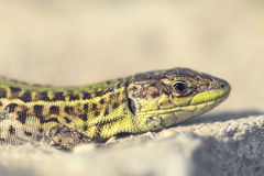 Balkan wall lizard Stock Image