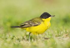 Balkankwikstaart, Black-headed Wagtail, Motacilla feldegg. Balkankwikstaart volwassen; Black-headed Wagtail adult royalty free stock images