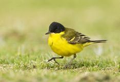 Balkankwikstaart, Black-headed Wagtail, Motacilla feldegg. Balkankwikstaart volwassen; Black-headed Wagtail adult royalty free stock image