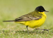 Balkankwikstaart, Black-headed Wagtail, Motacilla feldegg. Balkankwikstaart volwassen; Black-headed Wagtail adult stock image