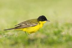 Balkankwikstaart, Black-headed Wagtail, Motacilla feldegg. Balkankwikstaart volwassen; Black-headed Wagtail adult stock photos