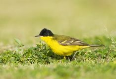 Balkankwikstaart, Black-headed Wagtail, Motacilla feldegg. Balkankwikstaart volwassen; Black-headed Wagtail adult stock images