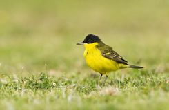 Balkankwikstaart, Black-headed Wagtail, Motacilla feldegg. Balkankwikstaart volwassen; Black-headed Wagtail adult stock photography