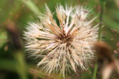 Delicace and ethereal dandelion Stock Image
