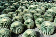 Ball cacti Royalty Free Stock Image