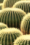 Ball cacti Royalty Free Stock Photo