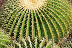 Ball Cactus Royalty Free Stock Photo