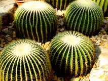 Golden barrel cactus Stock Photos