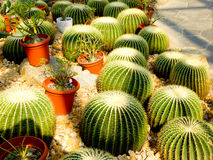 Golden barrel cactus Royalty Free Stock Images
