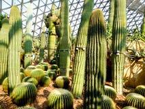 Ball cactus Royalty Free Stock Photos