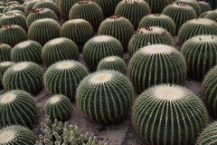 Ball cactus Stock Photos