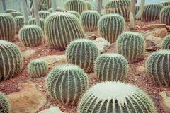 Ball cactus plant in glasshouse - green nature concept, vintage royalty free stock images