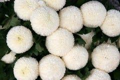 Ball chrysanthemums Stock Photo
