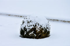 Ball Creeping pine under the snow. VIenna Royalty Free Stock Photography