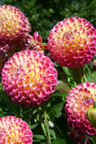 Ball Dahlias Hapet Daydream. Ball Dahlia blooms named Hapet Daydream. Pink and yellow colors. Outdoor, sunlight Royalty Free Stock Photo
