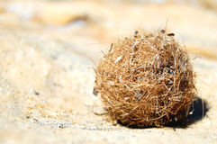 A ball of dried seaweed. A ball of seaweed dried on the beach Royalty Free Stock Image