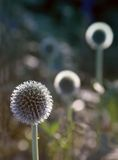 Ball flower Stock Photo
