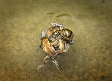 Ball of mating toads. Ball of many toads coupling in the water Royalty Free Stock Images