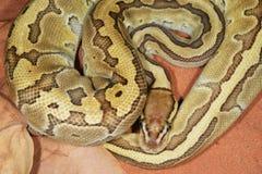 Ball oder königliche Pythonschlange stockbilder