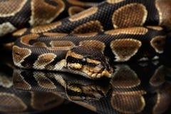 Ball oder königliche Pythonschlange Schlange auf lokalisiertem schwarzem Hintergrund lizenzfreie stockbilder