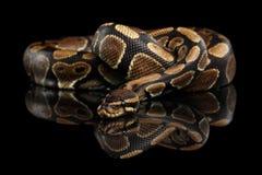 Ball oder königliche Pythonschlange Schlange auf lokalisiertem schwarzem Hintergrund stockfotografie