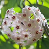 A ball of porcelain flowers blooming in the spring Stock Images
