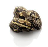 Ball Python. Isolated on a white background royalty free stock image