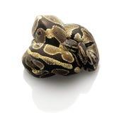 Ball Python Royalty Free Stock Image
