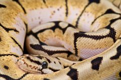 Ball python. The ball python is probably the most popular pet snake in the world. Small,docile,gentle and long living, available in a stunning variety of colors Stock Photos
