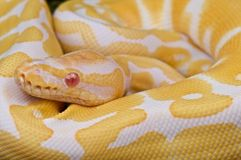 Ball python. The ball python is probably the most popular pet snake in the world. Small,docile,gentle and long living, available in a stunning variety of colors Stock Images