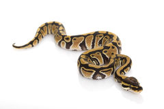 Ball Python. (Python regius) on white background Royalty Free Stock Photos