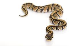 Ball Python. (Python regius) on white background Stock Photo