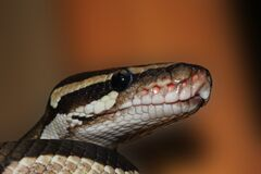 Ball python Royalty Free Stock Images
