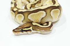 Ball Python Butter Snake on table Royalty Free Stock Image