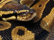 Ball python close up. Closeup of ball python snake royalty free stock images