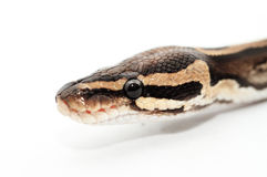 Ball Python close up Stock Images