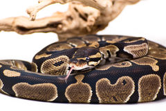 Ball python. Close up picture of a Ball Python on a white background stock images