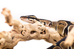 Ball python. Close up picture of a Ball Python on a white background Stock Photography