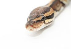 Ball Python close up Stock Image